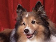 Sweetheart Sheltie