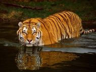 desktop wallpapers animals backgrounds swimming tiger www