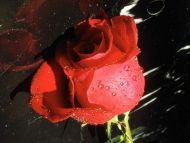 Symbolic Red Rose