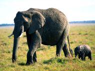 Tag Along, African Elephants