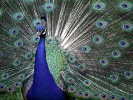 The Colors of Pride, Proud Peacock