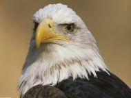 The Eyes of Freedom, Bald Eagle, Alaska