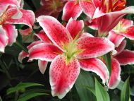 Desktop Wallpapers Flowers Backgrounds Tiger Lilies Www