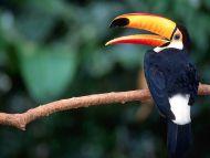 Toucan in Tree