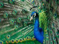 True Colors, Peacock