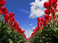 Desktop Wallpapers » Flowers Backgrounds » Tulip Festival