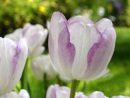 Tulip White Purple
