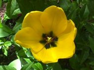Desktop Wallpapers » Flowers Backgrounds » Tulip Yellow