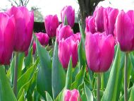 Tulips Magenta
