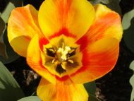 wallpapers flowers gardens backgrounds tulips yellow orange
