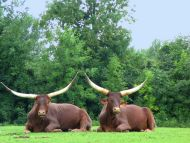Two Buffaloes