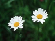 desktop wallpapers flowers backgrounds two daisies