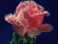 Underwater Rose dans fiori e piante underwater-rose