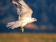 Up and Away, Gyrfalcon