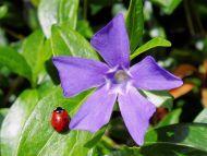 Vinca Minor Ladybug