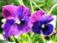 Desktop Wallpapers Flowers Backgrounds Violet Flower