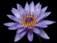 Desktop Wallpapers » Flowers Backgrounds » Waterlilly ...