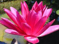 Waterlily Dark Pink