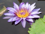 Waterlily Purple