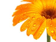 Wet Gerbera, Orange, Closeup