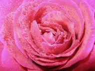 Wet N Pink Rose
