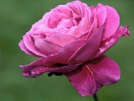 Wet N Pink Rose Closeup