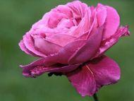 wet-n-pink-rose-closeup
