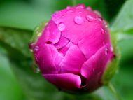 Wet Pink Rose Bud