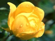 Wet Rose Yellow
