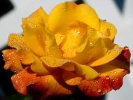 Wet Yellow Rose