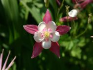 White and Pink Columbine