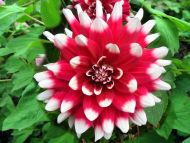 White and Red Dahlia