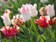Desktop Wallpapers Flowers Backgrounds White And Red Tulips