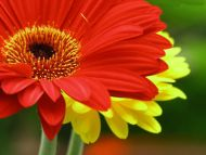 Desktop wallpapers flowers backgrounds white and - Gerber daisy wallpaper ...