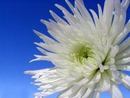 White Dahlia Closeup