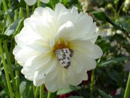 White Dahlia with Butterfly