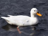 White Duck at Belper