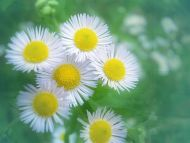 Desktop Wallpapers Flowers Backgrounds White Flowers Www