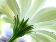 Desktop Wallpapers Flowers Backgrounds White Gerbera Daisy Www