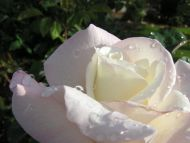 White Light Pinky Rose