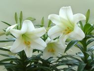 Desktop Wallpapers » Flowers Backgrounds » White Lily in Plant » www ...