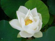Desktop Wallpapers Flowers Backgrounds White Lotus Www