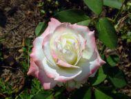 White N Pink Rose