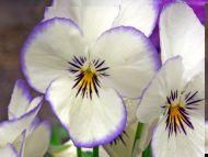 Desktop wallpapers flowers backgrounds white pansies www white pansies mightylinksfo