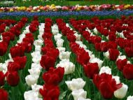 White Red Tulips Lines