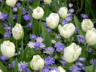 White Tulips with Purple Gerbera