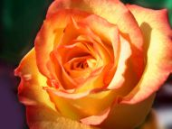 Desktop wallpapers flowers backgrounds yellow and for The meaning of orange roses