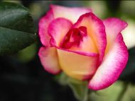 Yellow and Pink Rose