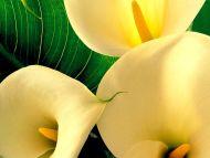 Desktop wallpapers flowers backgrounds yellow big lily flower yellow big lily flower izmirmasajfo