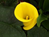 California Callas | Calla Lily | Trumpet Shaped Calla Lilies ...